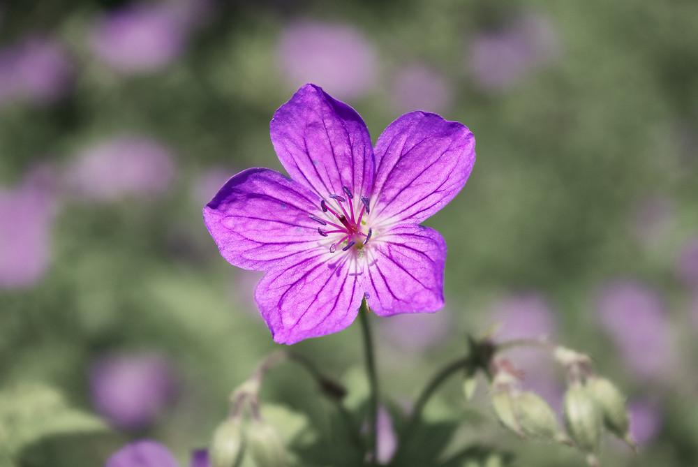 Geraniol Terpenes found in Geranium Flowers