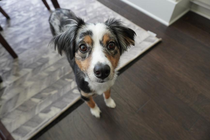 Dunbroke Toy Aussies and Pembroke Welsh Corgis - Priceville, Ontario - Dog Breeder - Elliott Rothman Unsplash