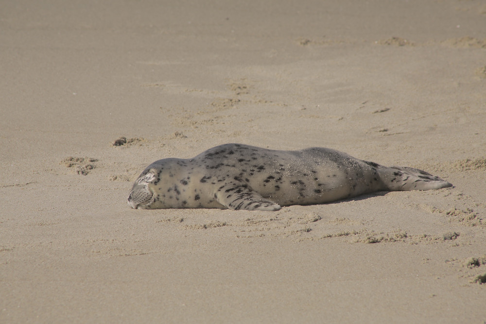 A sleeping seal rests on a sandy beach