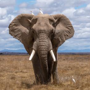 Communication animale : message de l'Eléphant.