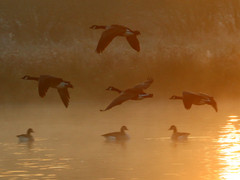 When the wild geese fly