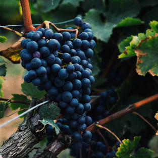Tips for Growing Grapes in your backyard