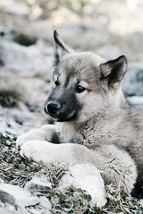 Puppy wolf- Preserving Endangered species with Ariodante Luxury Travel