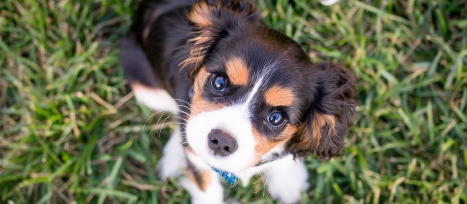 Puppy pyoderma