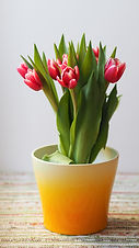 Can I Plant Potted Bulbs Outside?
