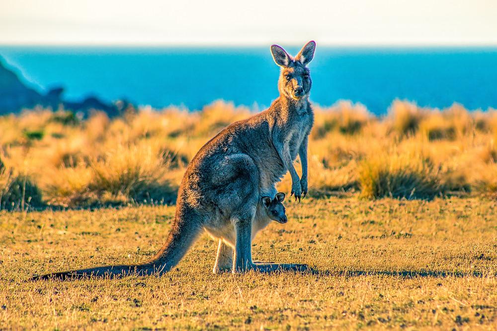 Kangaroo in Australian desert