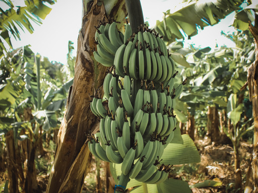 What We Can Learn From the Near-Death of the Banana