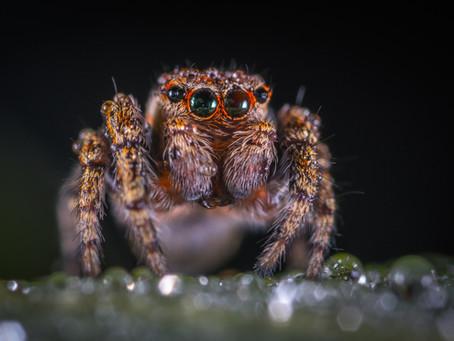 The Siren Spider