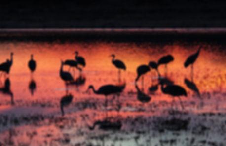TRST Flamingo