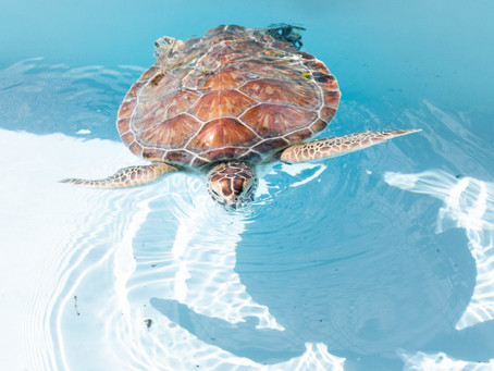 Attractions in Melbourne, FL: The Sea Turtle Preservation Society