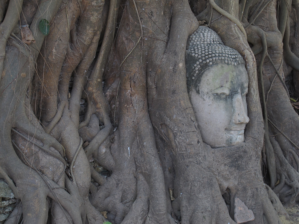 Buddha statue encapsultate by tree with only face showing