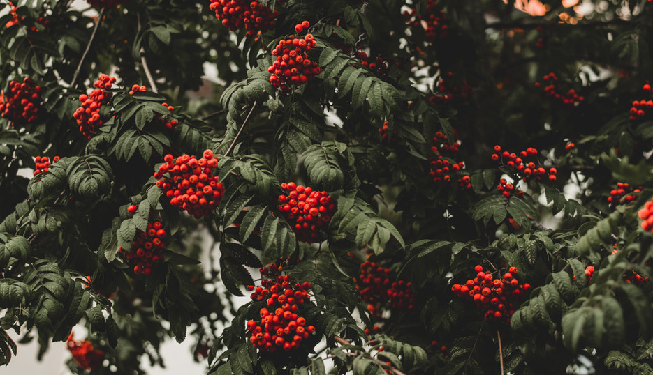 Mountain Ash (Rowan Tree)