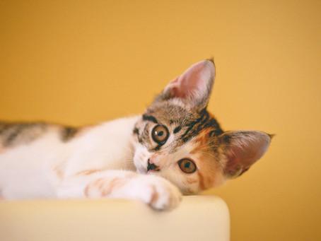 Kucing tidak Mau Makan, ini Penyebab dan Cara Mengatasinya