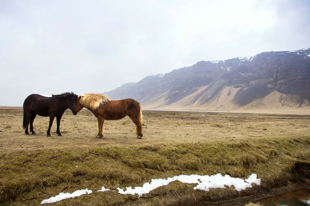two icelandic horses in natural landscape