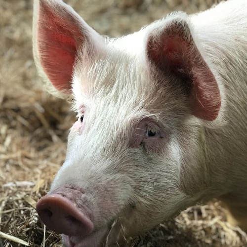 Do one thing for farmed animals