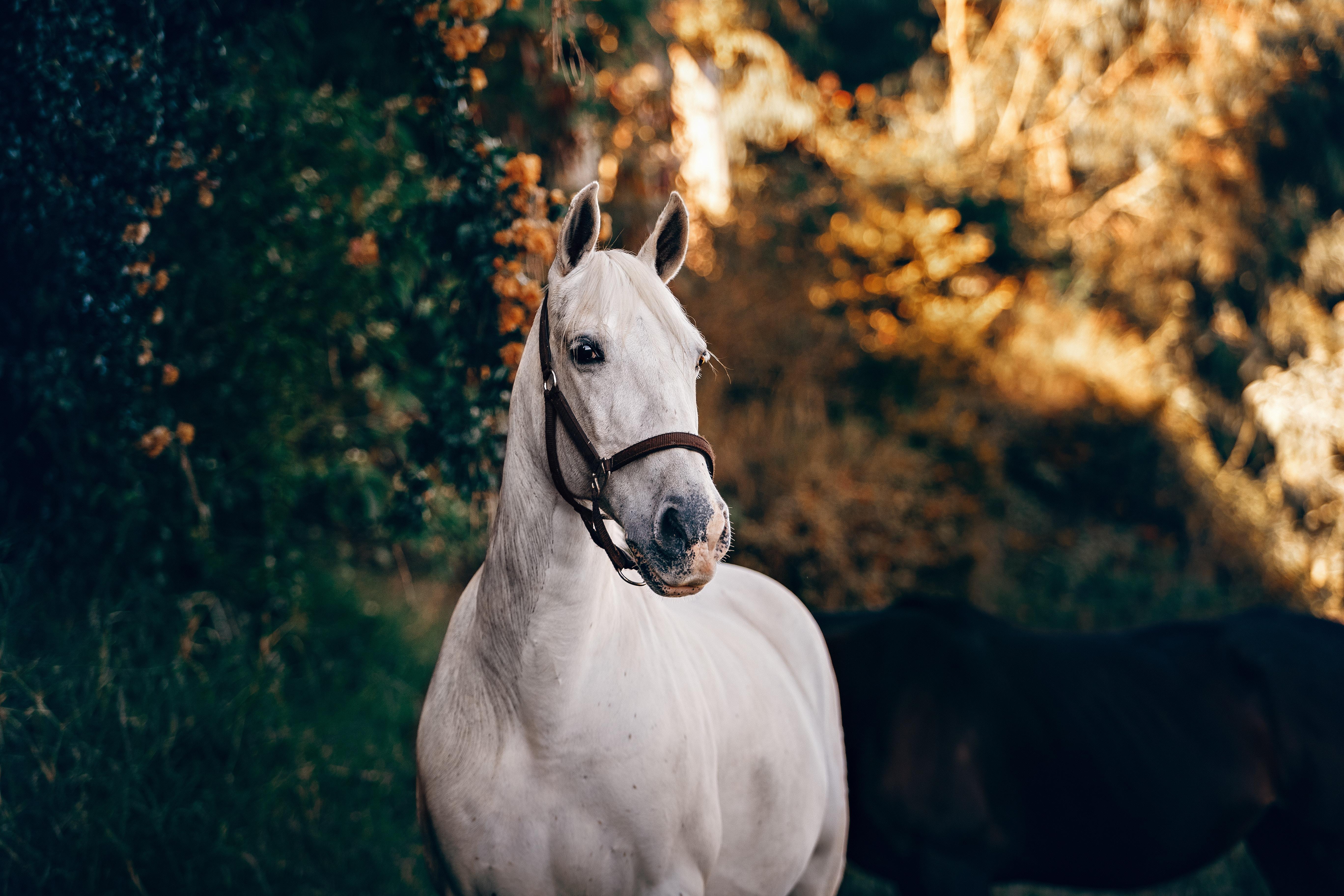 White trail horse