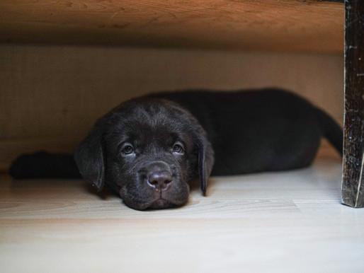 Adopter un chiot ou sauver un chien de refuge