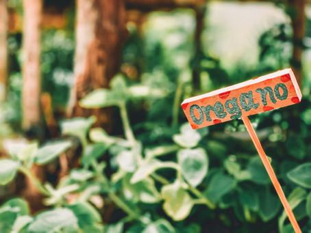 Tips on Harvesting Oregano
