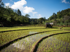 Reis und seine Sorten