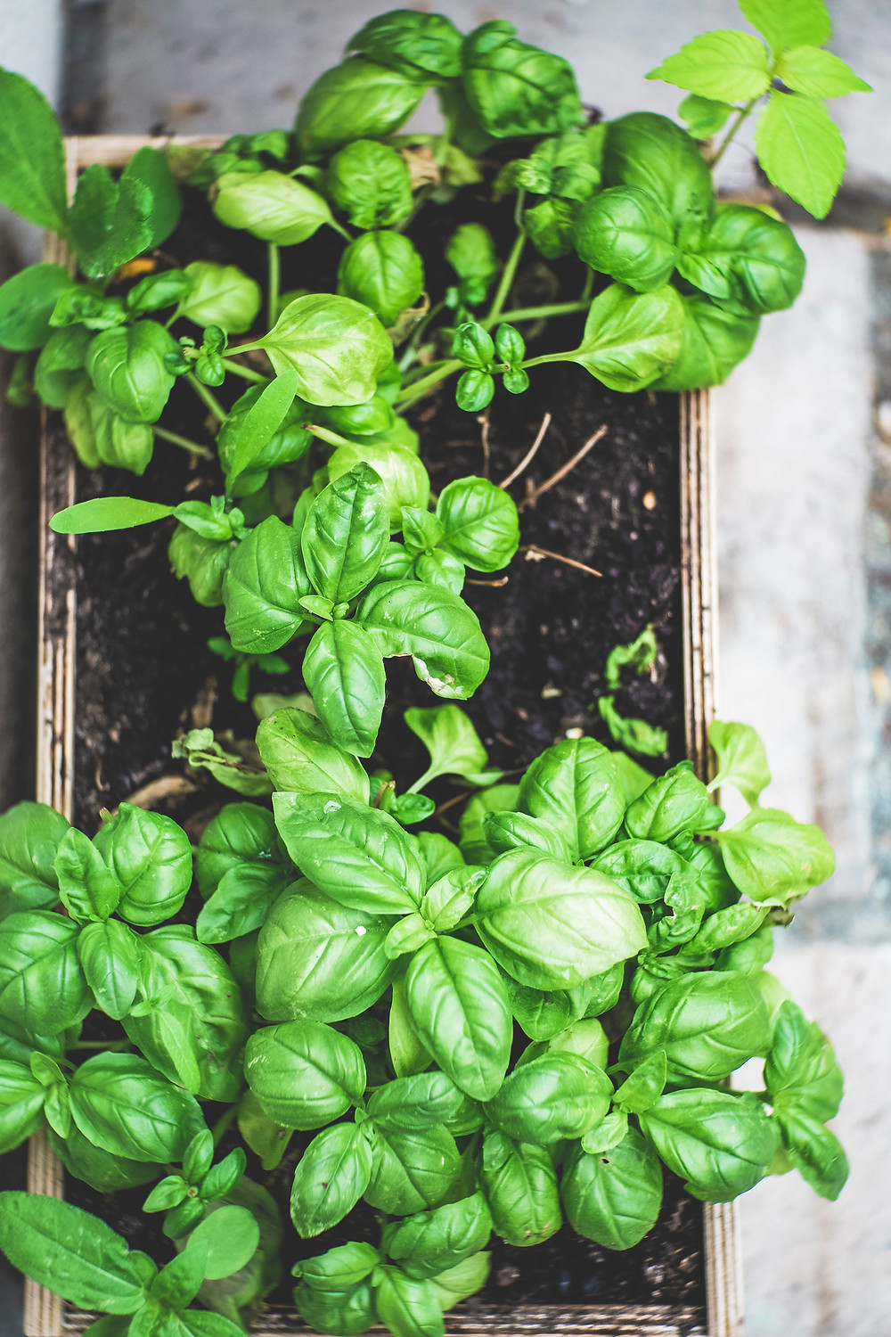 basil is a natural source of fenchol terpenes