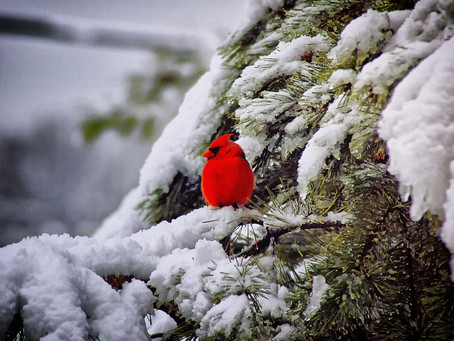 6 Tips for Attracting Cardinals this Winter