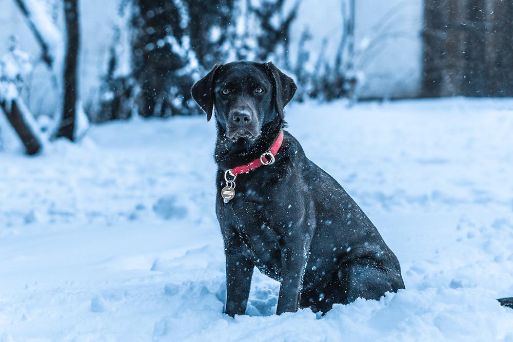 Odrasli Labrador