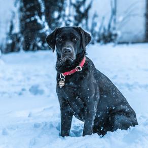 Pasmine- Labrador