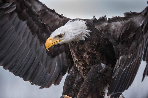 Bald Eagles: Habitat, Prey, and Behaviors
