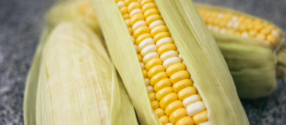 How to Grow Hybrid Bodacious Sweet Corn from Seed!