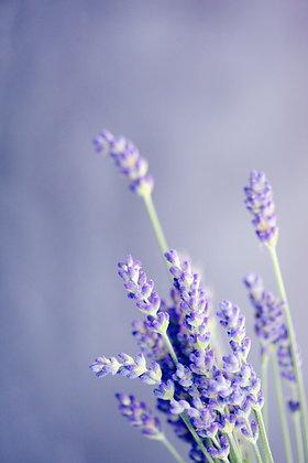 Lavender (Stoechas)  Spain