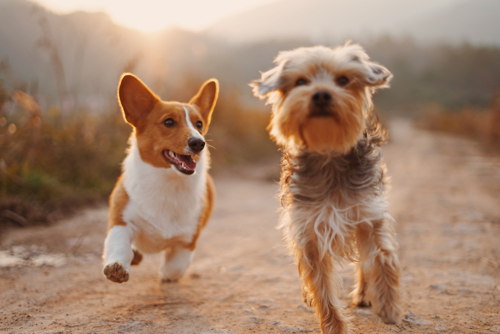 Two small dogs running on a dirt path