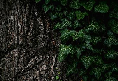 Golden pothos ivy origen air