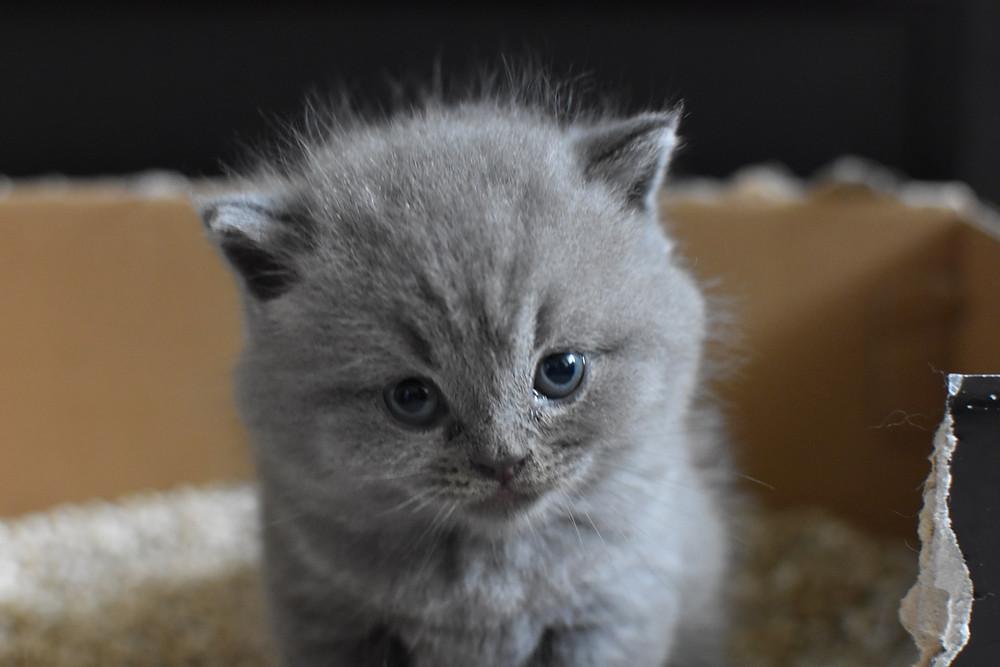 Small grey fluffy kitten