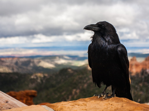 Crows Understand the Concept of Zero