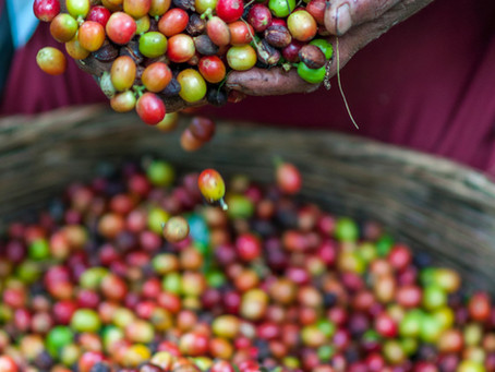 Is Coffee a Bean? Caffeine in Coffee & Natural Flavors for Coffee.