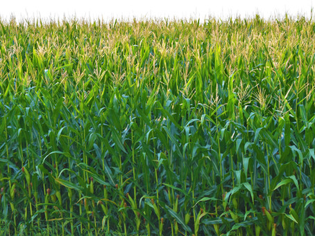 Despite lower Mpumalanga yields overall harvest outlook still impressive