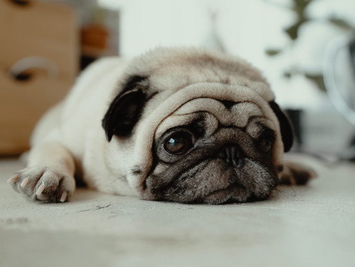 Les problèmes respiratoires chez le Pug