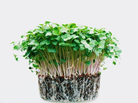 Kid's Corner: Growing Microgreens