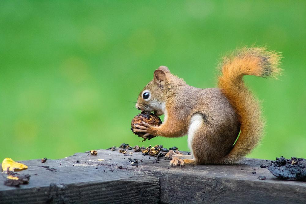 Squirrel chewing on a nut in a Manitoba park Winnipeg Metropolitan Region