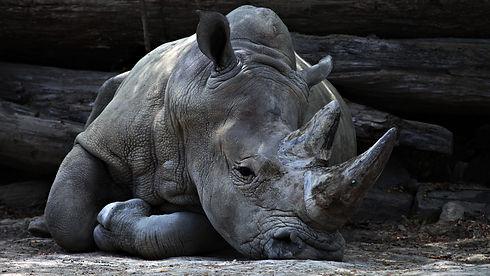 Rhino Laying Down