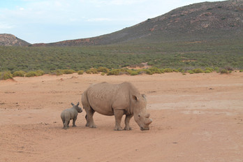 The Rhinos of Africa