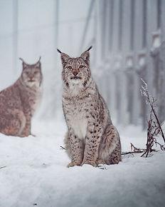 New felid enclosures