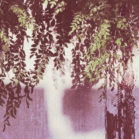 המורינגה המופלאה - עץ לכל צורך בחיים...