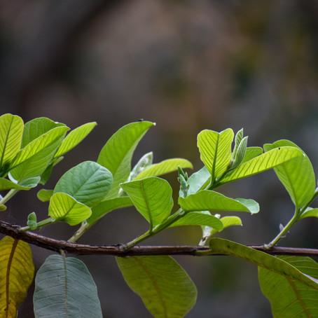 Benefícios da folha de goiabeira: mito ou verdade?