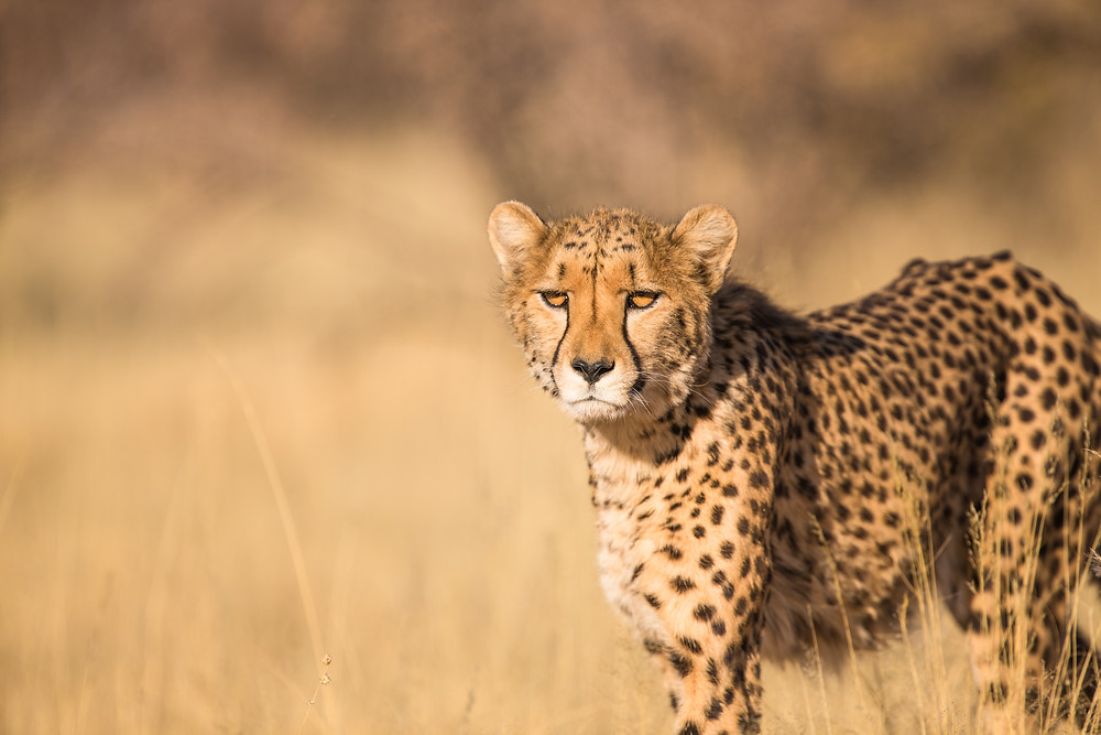 Namibia is home to the largest population of fre-roaming cheetahs