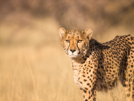 Unexpected Destinations for Cheetah