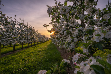 Sunset at an Orchard