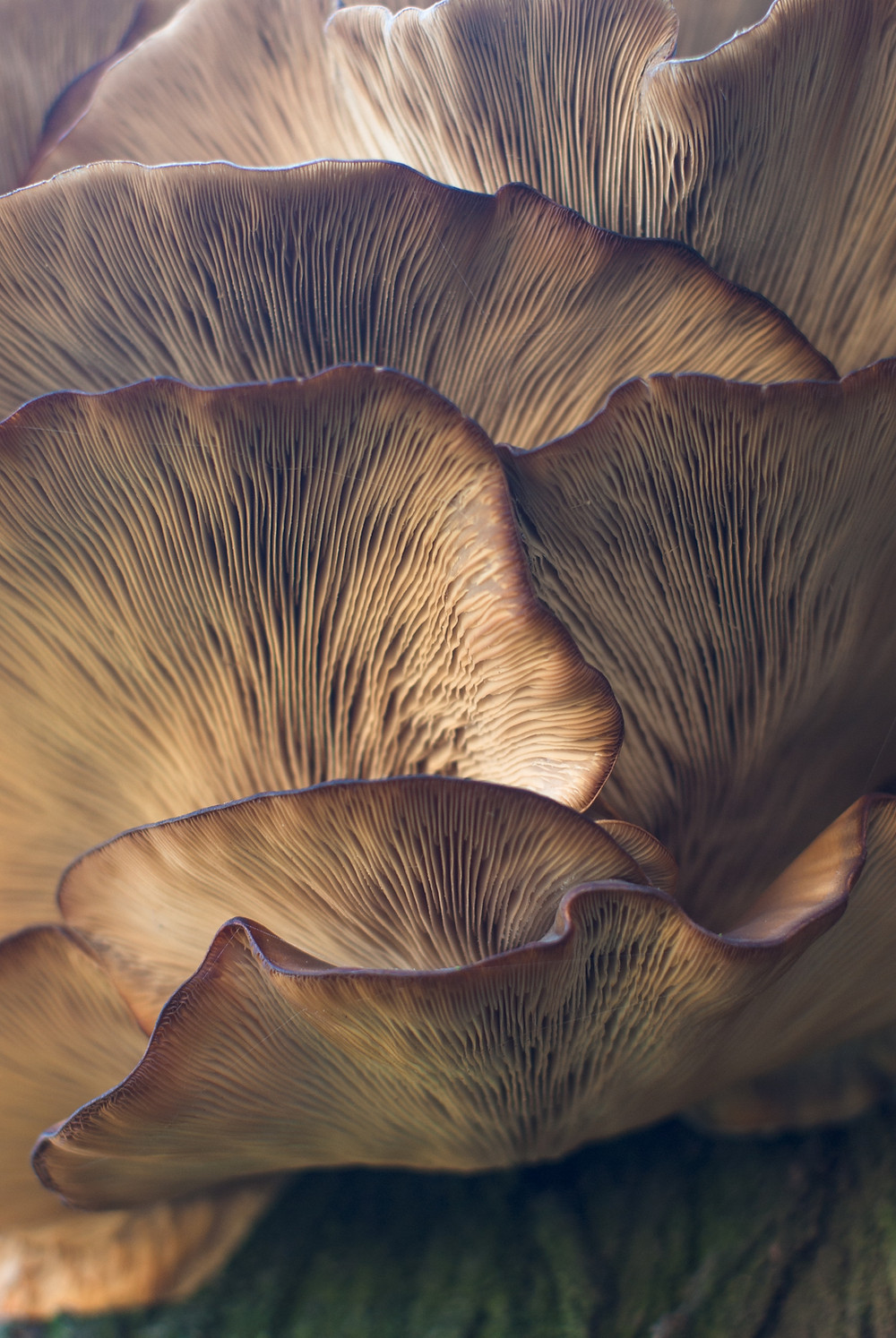 Layers of mushrooms featuring the Gills, which are the underside of the mushroom caps.