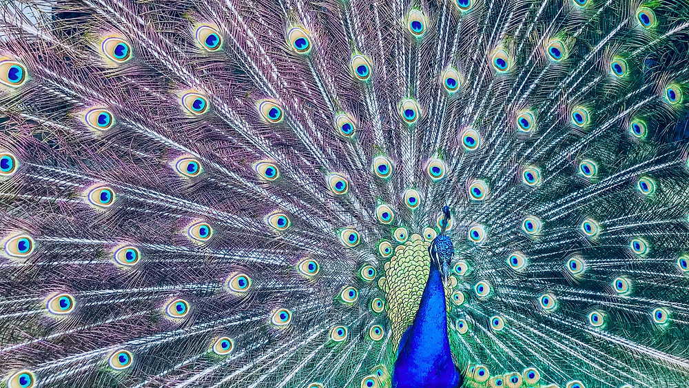This is an image of a peacock.