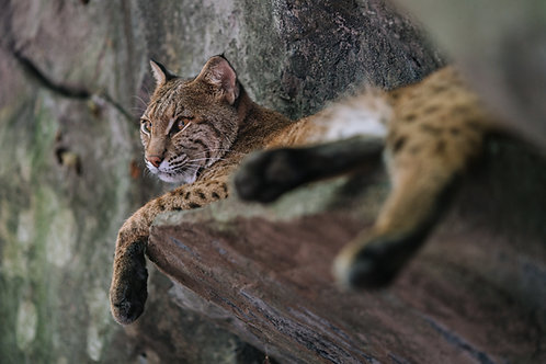 Bobcat RFID Tag